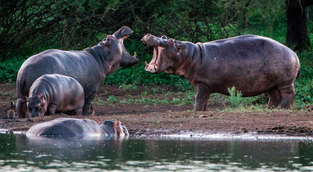 Alimentación De Los Hipopótamos :: Imágenes Y Fotos