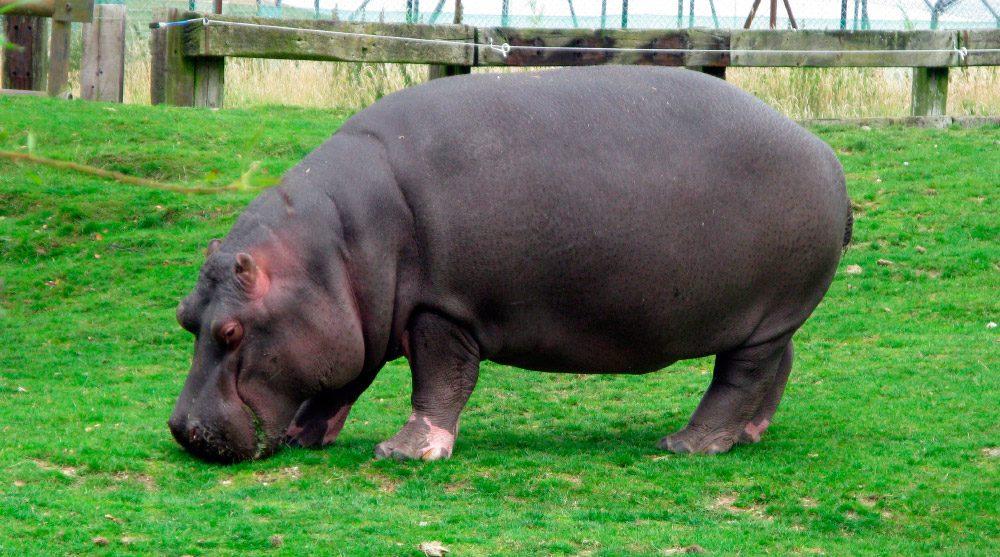 Comportamiento Del Hipopótamo Común :: Imágenes Y Fotos