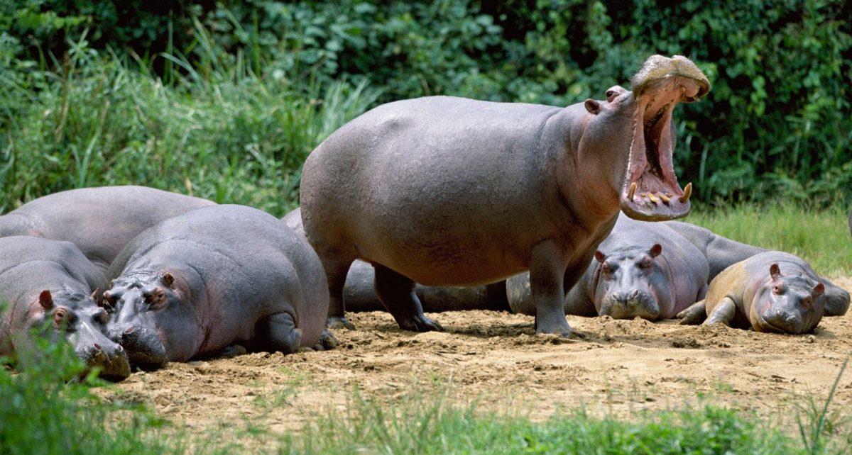 Curiosidades Sobre Los Hipopótamos
