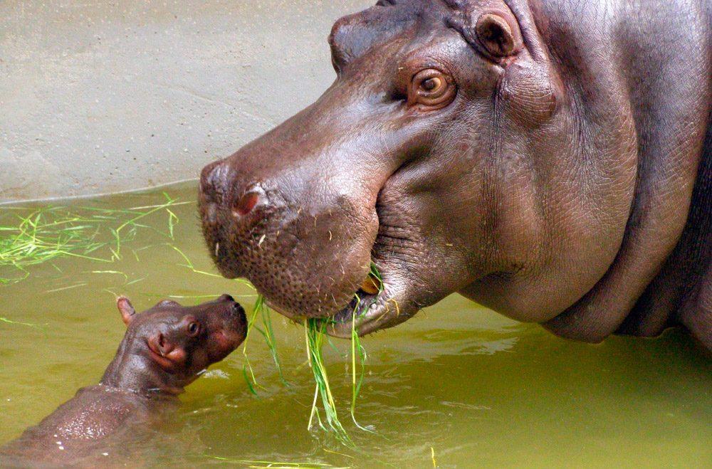 Dibujo New post: ?Por que los hipopotamos tienen la boca tan ...