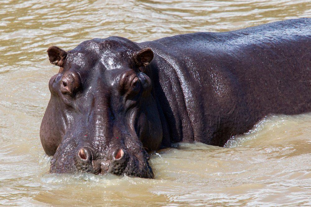 Galería De Imágenes: Imágenes De Hipopótamos