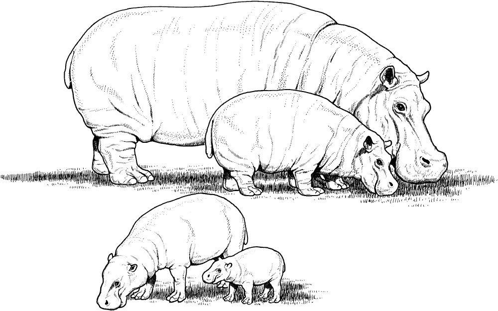 Encantador Dibujo De Hipopótamo Adorno - Enmarcado Para Colorear ...