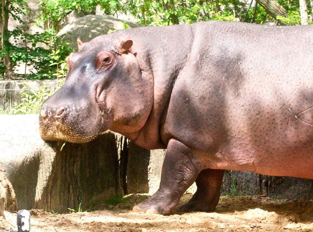 Galería De Imágenes: Hipopótamo Común