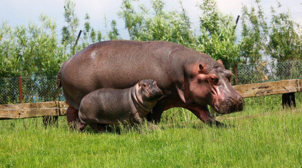 Los Hipopótamos Y El Territorio