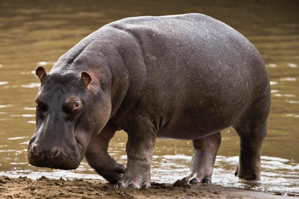Reproducción Y Vida Del Hipopótamo